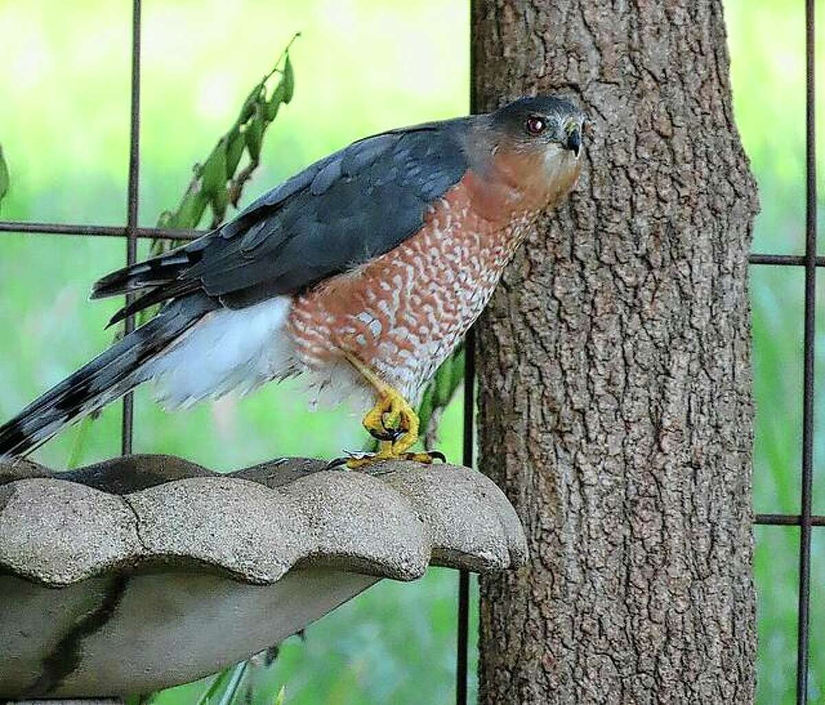 A sharp-shinned hawk stops at a bird bath in Jacksonville for a refreshing drink.