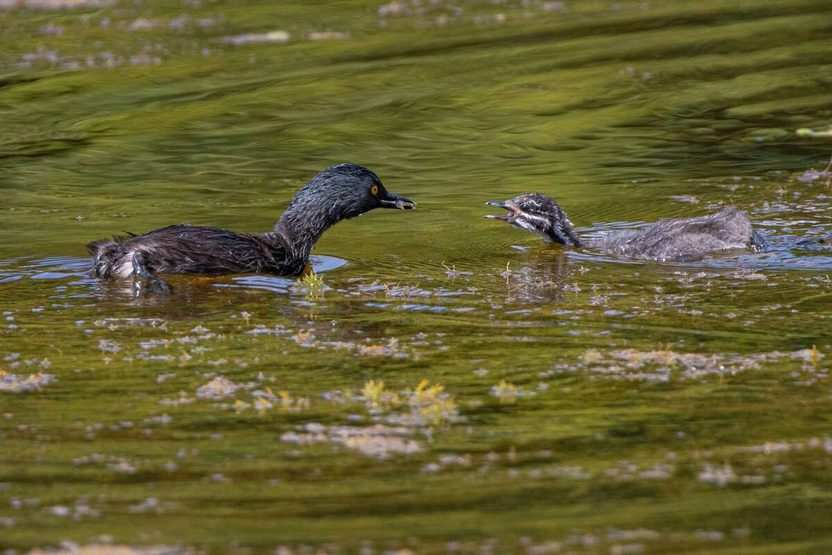A least grebe feeds its baby a small fish. The tropical birds are becoming more common in our area including the Eastern Glades pond in Memorial Park.
