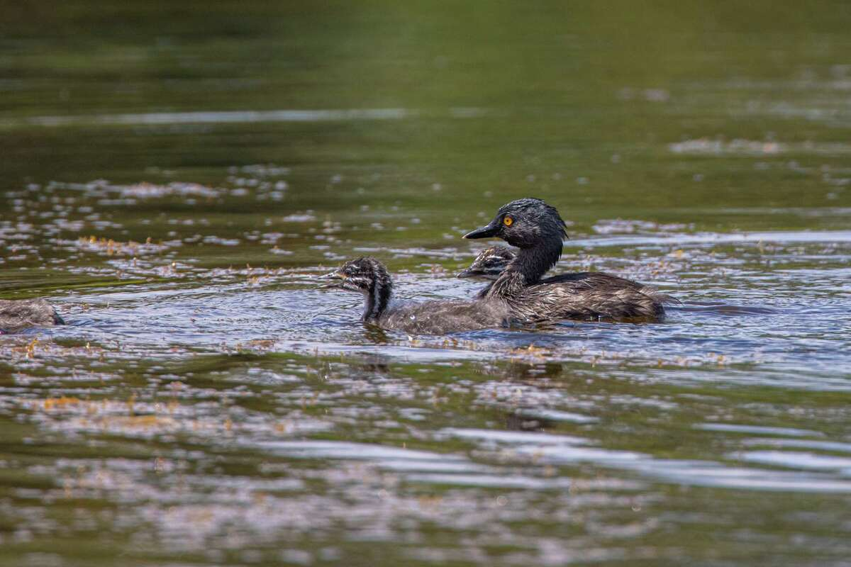 A least grebe, with its bright golden eye, swims on the pond at Eastern Glades with two chicks.
