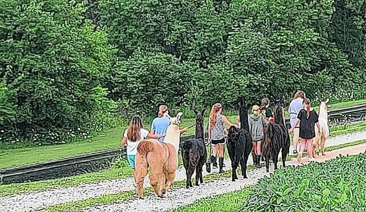 People take several llamas for a stroll at K and T Llamas in Bluffs. K and T's open pasture event Oct. 5 will allow others to do the same.