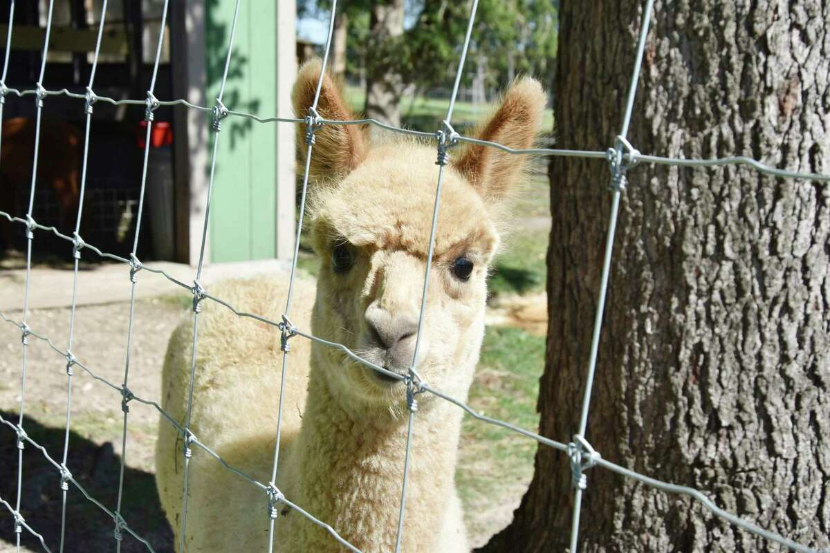 One thing people should remember is to practice slow movements around alpaca so the creatures don't become nervous. (Arielle Breen/News Advocate)