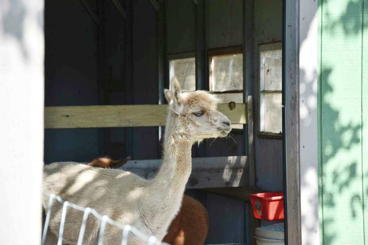 G&D Alpaca Farm in Manistee has 12 Huacaya breed of alpaca. The camelids have a life expectancy of up to 25 years, according to the farm's frequently asked questions placard. (Arielle Breen/News Advocate)