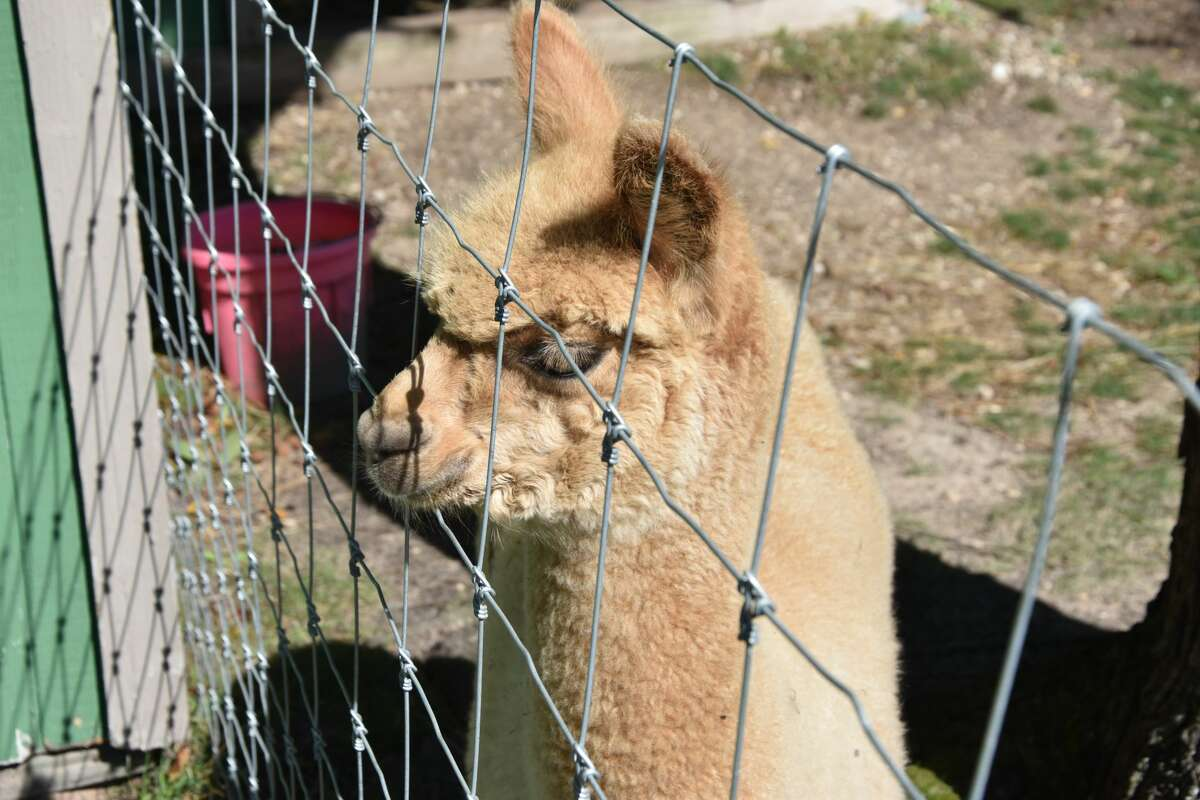 """According to G&D Alpaca Farm's frequently asked questions placard, """"Alpaca are bred for their fleece which is warmer than wool, softer than cashmere, wicks moisture, contains no lanolin. It is considered hypoallergenic."""""""