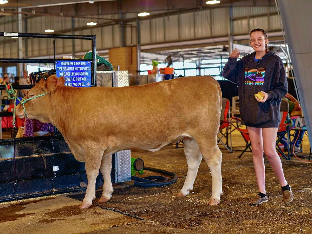 Estella Westermann, age 16, brushes her heifer, Scotch, before competing in the Fort Bend County Livestock Show on Saturday, Sept. 25, 2021.