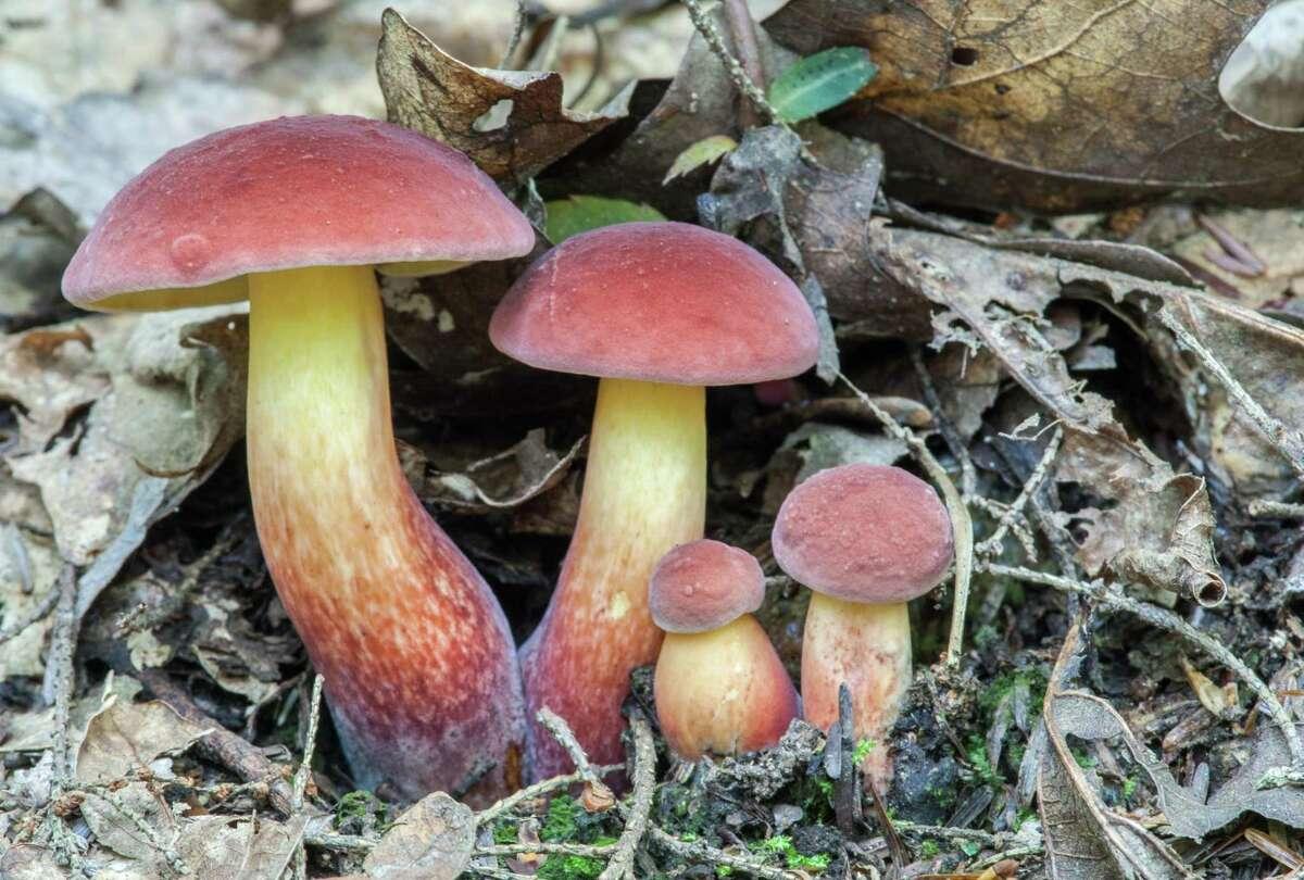 Baorangia bicolor mushrooms, found in Connecticut.