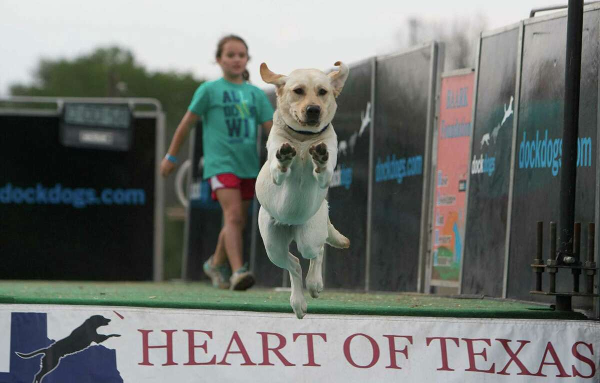 A labrador retriever leaps into the water for a Houston Dock Dogs demonstration.