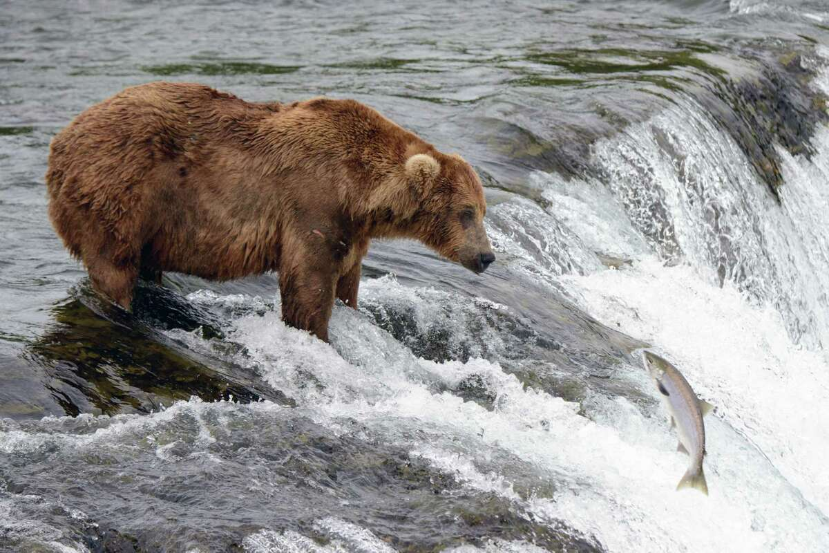 FILE -- A bear waits to catch salmon in Katmai National Park and Preserve, about 30 miles from Bristol Bay in southern Alaska, on July 19, 2015. (Mark Meyer/The New York Times)