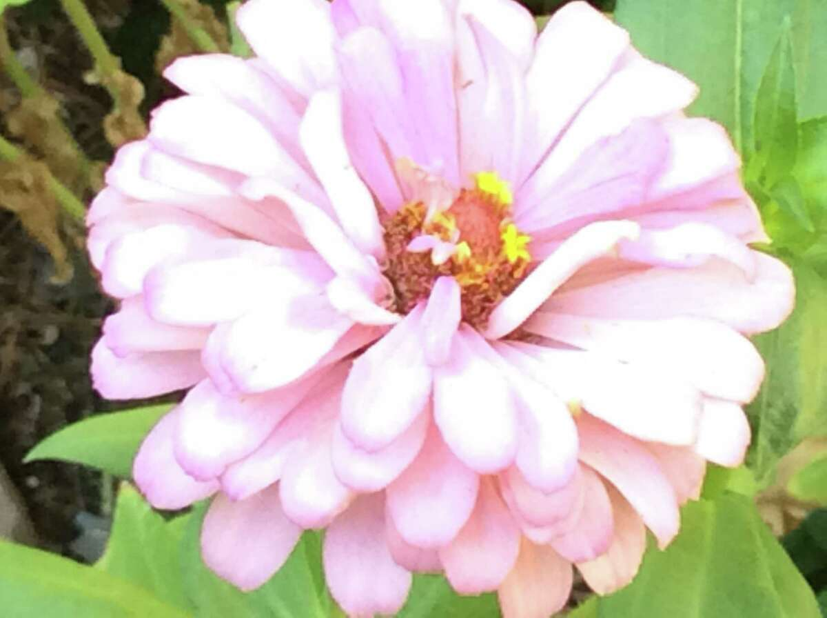 Zinnias will continue to bloom until Thanksgiving if the weather holds.