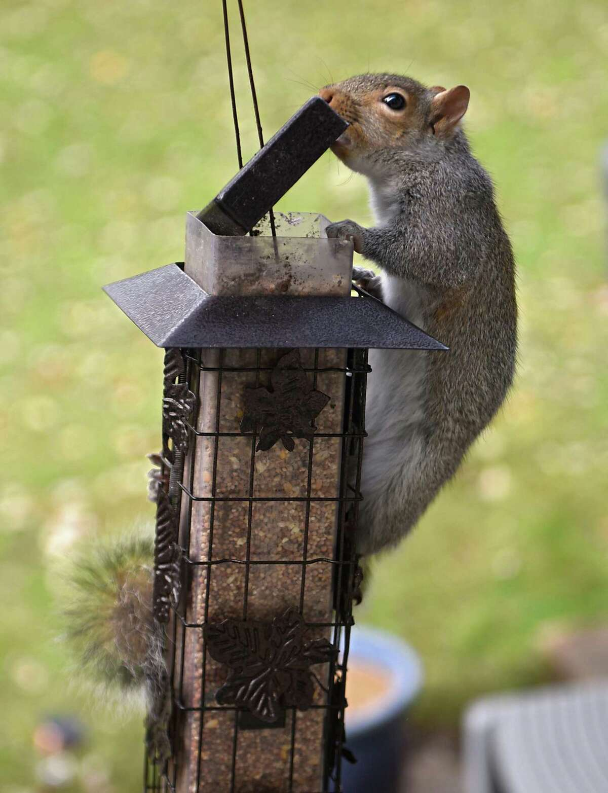 A squirrel invades a squirrel-proof bird feeder by lifting the top and helping himself to food