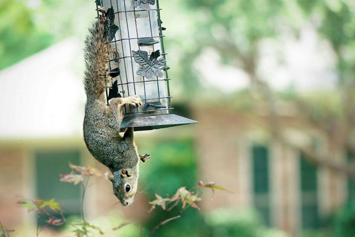 Squirrels are persistent birdseed mooches.