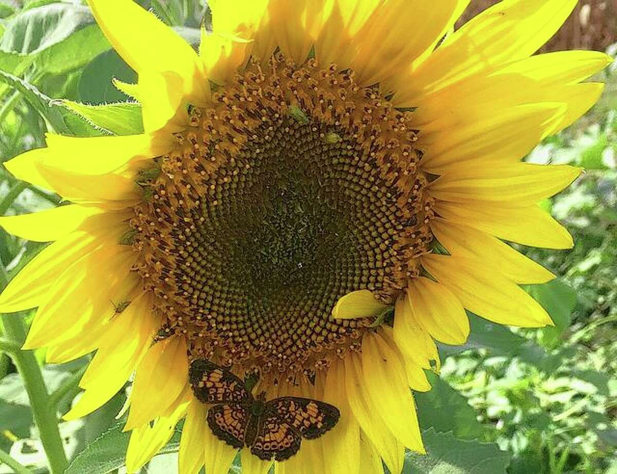 A butterfly blends in with a large sunflower.