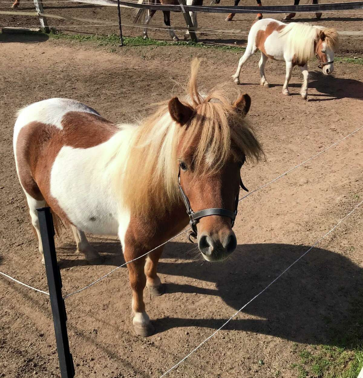 Visitors can meet a mini-therapy horse at Animal Awareness Day on the Branford Green Saturday.