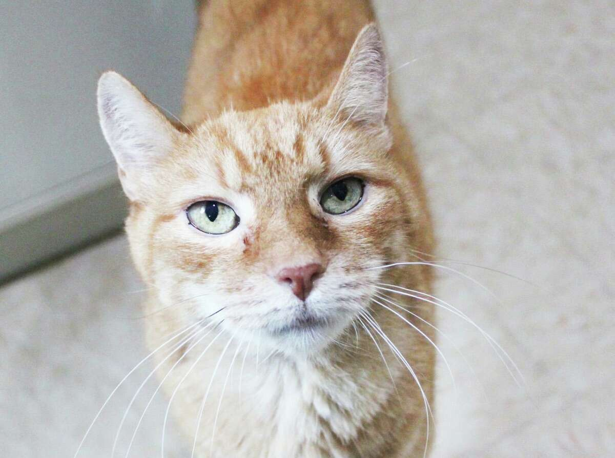 Male domestic short hair Tabby Ernie is available for adoption from Cat Tales of Middletown.