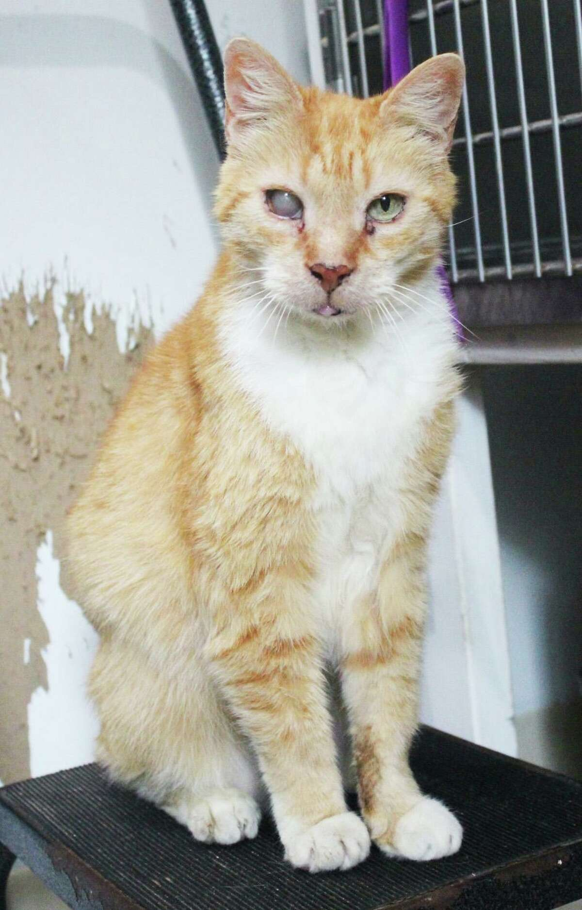 Domestic short hair Tabby Bert is up for adoption at Cat Tales of Middletown.