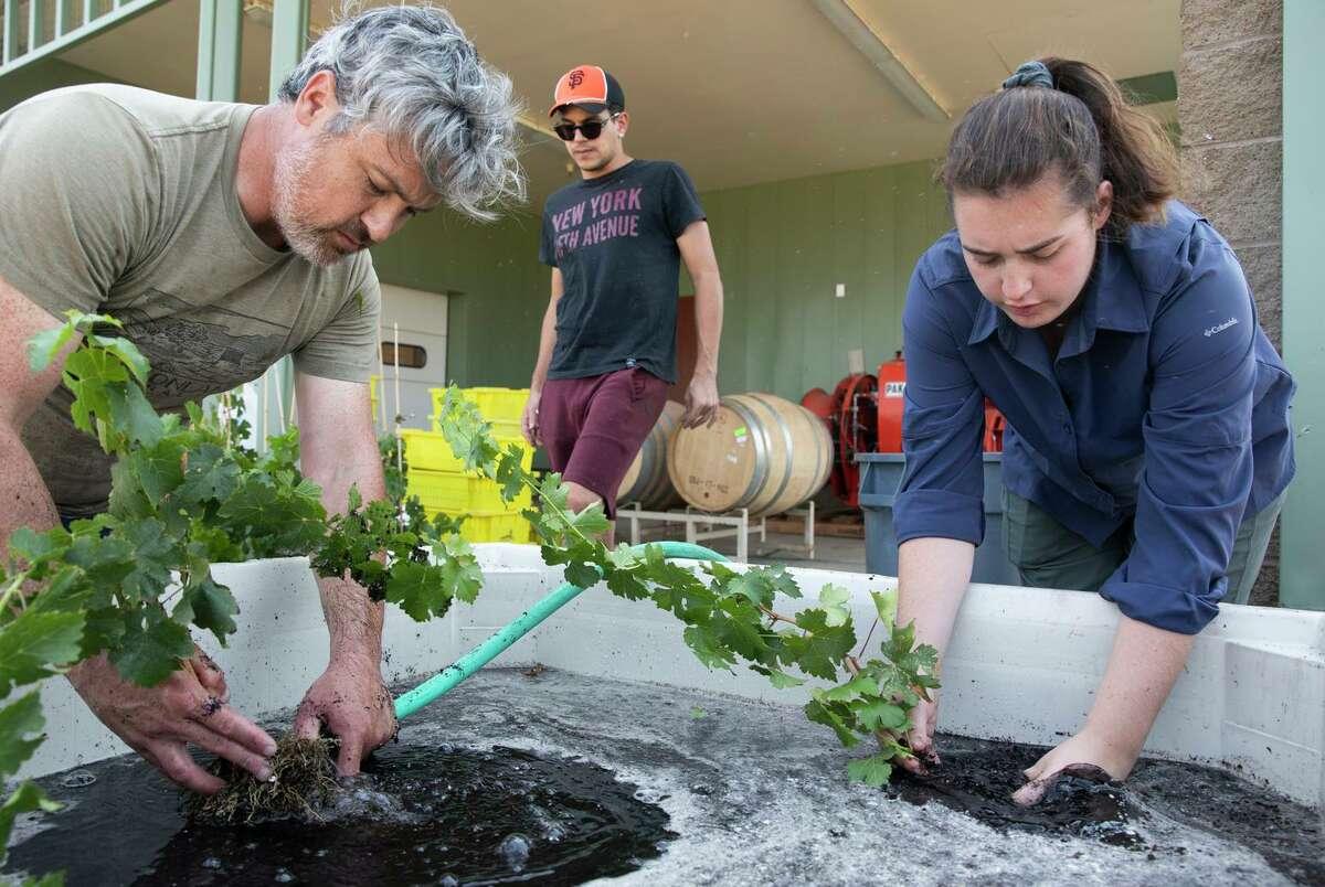 (From left) Justin Tanner, Dimitrios Mainos and Lauren Marigliano work at UC Davis' Oakville vineyard.