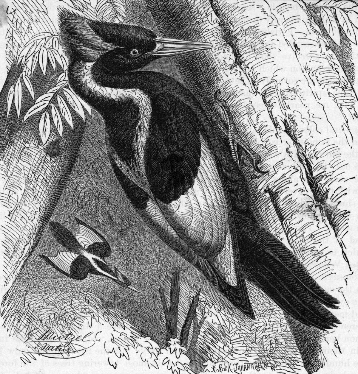 Ivory-billed woodpecker (Campephilus Principalis). Undated woodcut.