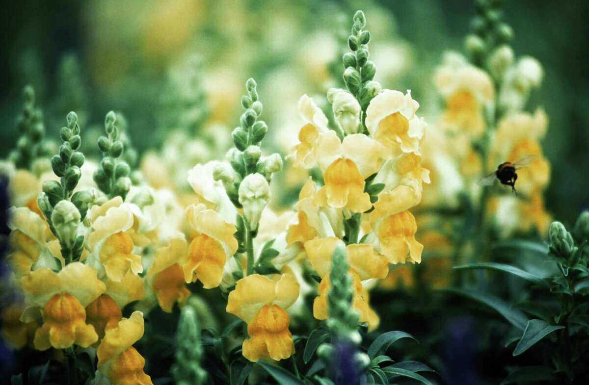 Plant annuals, such as snapdragons, en masse for a stunning fall garden.