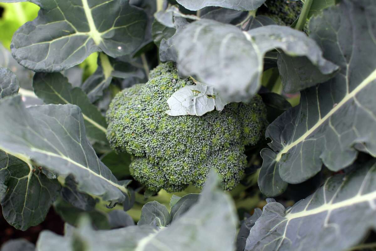 Broccoli grows in the winter garden of Sue and Jim Ewers, Friday, December 16, 2011. (JENNIFER WHITNEY/ special to the Express-News)