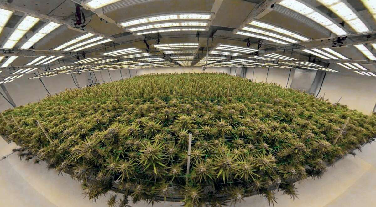 Marijuana plants thrive inside the Lume Cannabis Company cultivation facility in Evart. Product yields continue to increase with the newest technological advances in cultivation. (Photo courtesy of Lume Cannabis Co.)