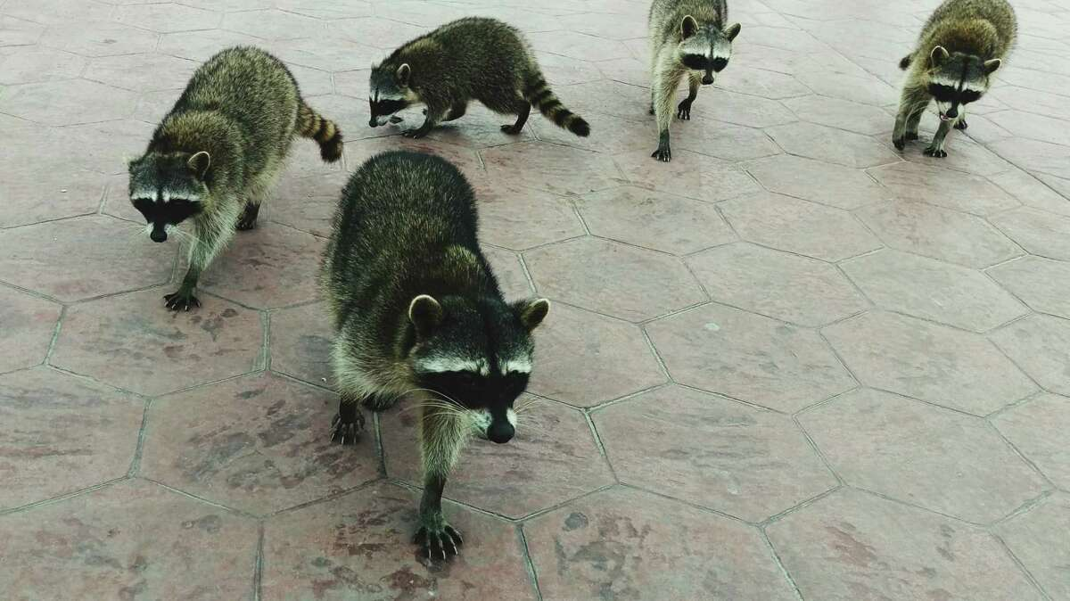A flea infestation at an Oakland's Esperanza Elementary School site is likely connected to raccoons living in an adjacent park and wooded area, according to district officials.