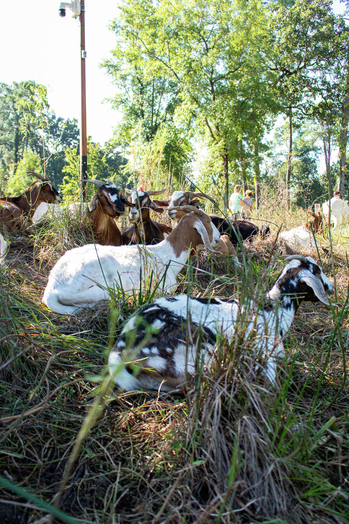 Some of the Carr's flock of goats.