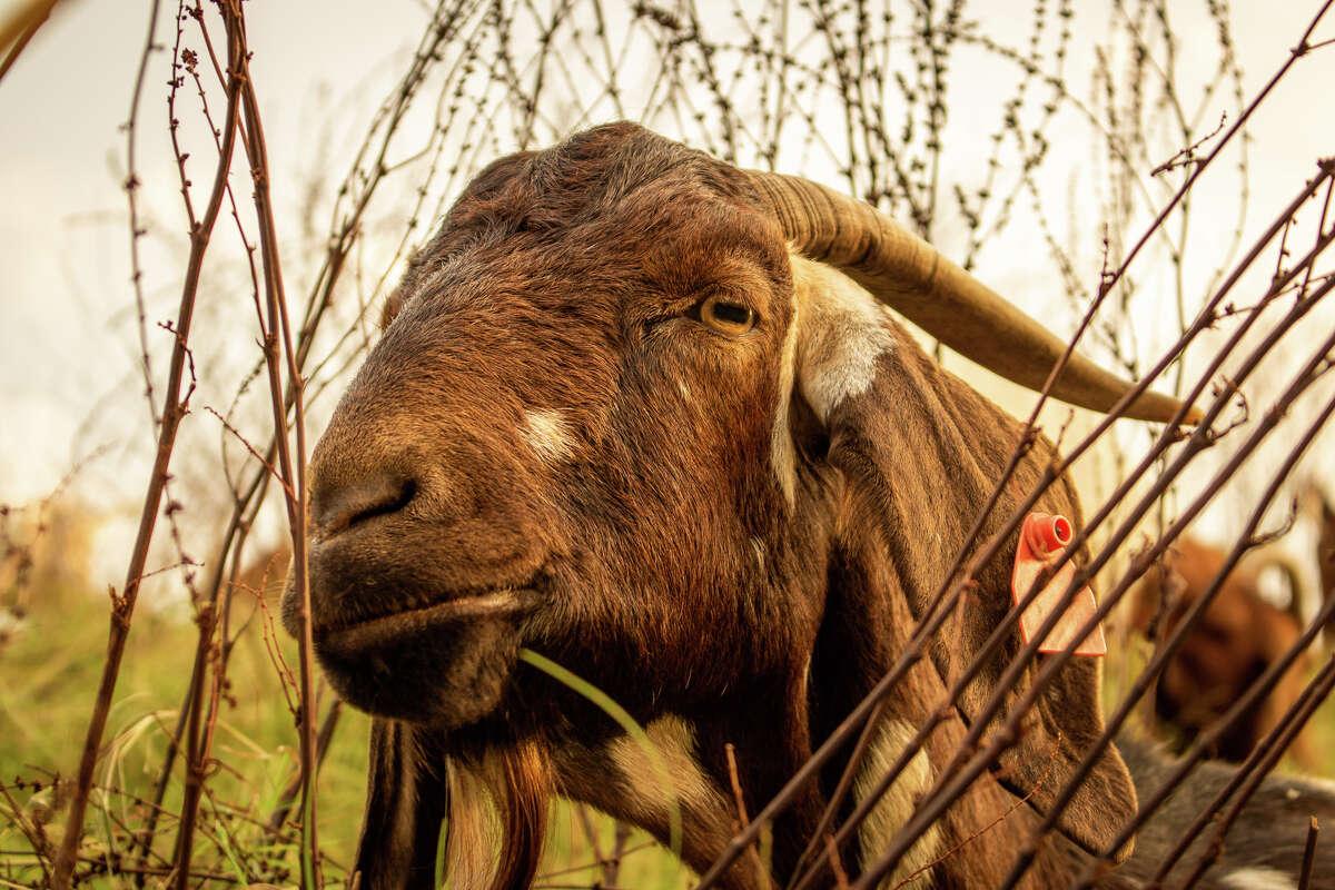 Mocha, a popular Spanish goat and herd matriarch.