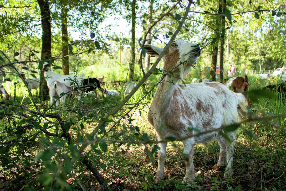 Grazing goats.