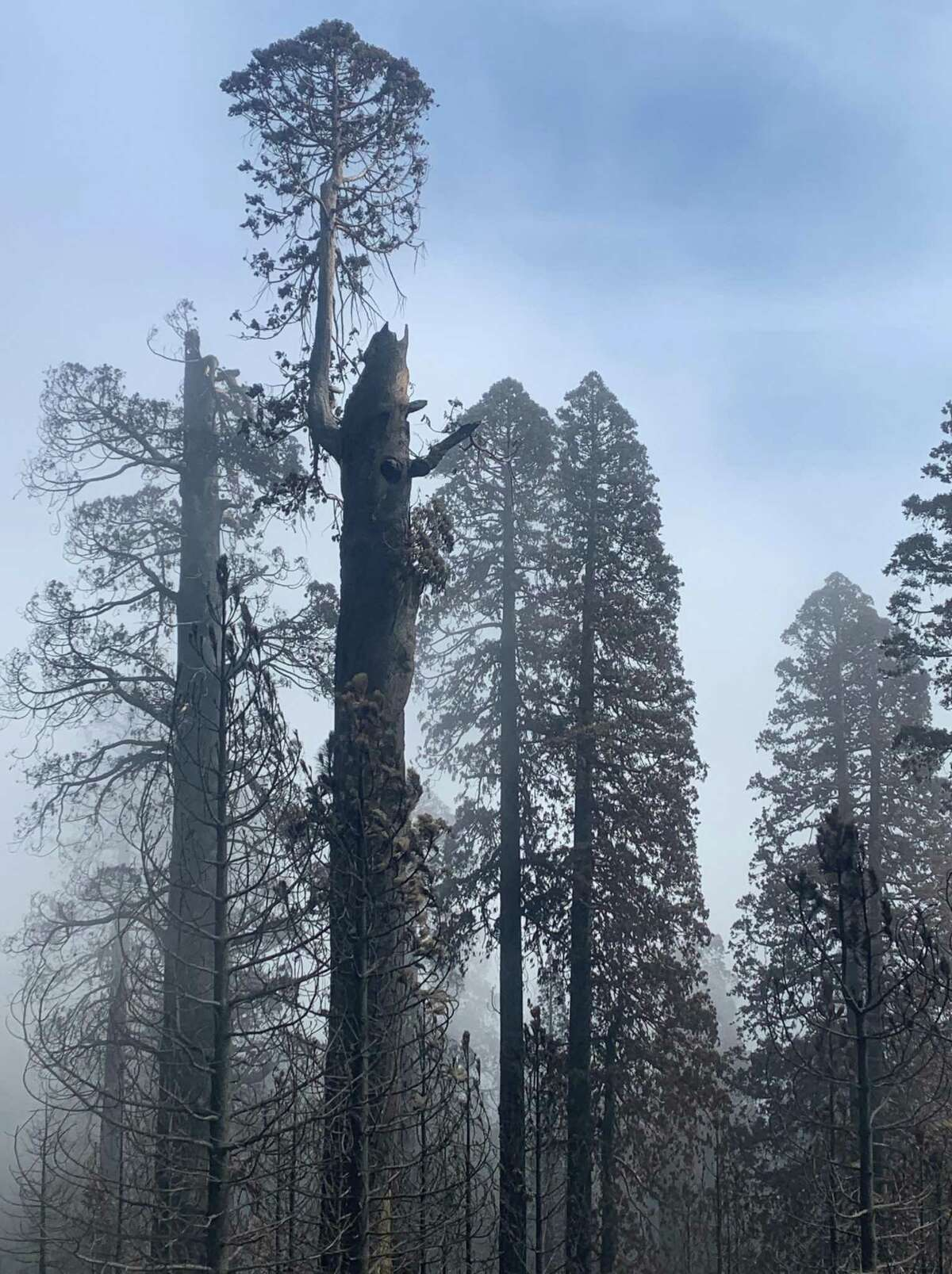 Burned trees in the Long Meadow Grove in Sequoia National Monument.