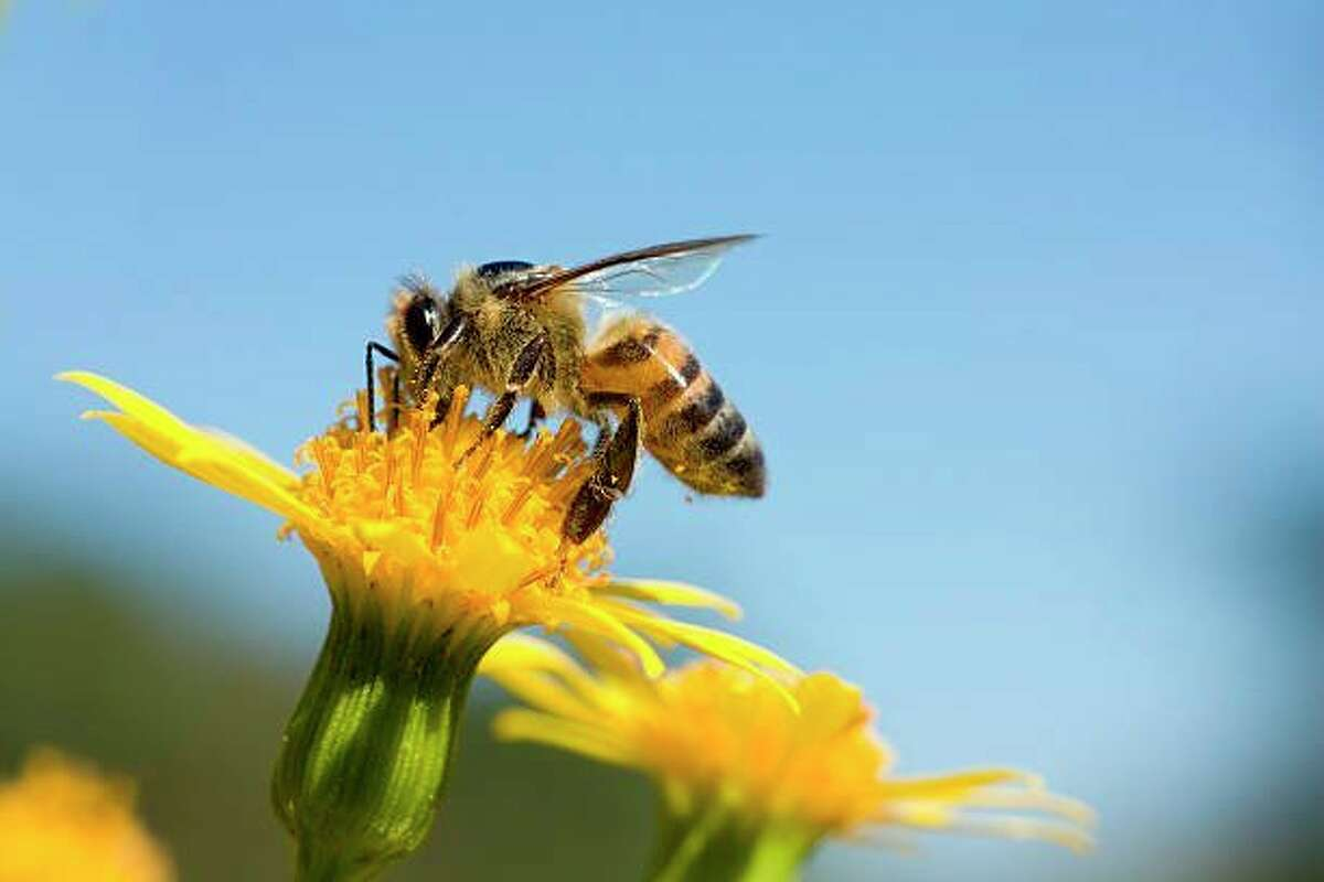 Honeybees are attracted to yellow flower with heavy pollen. (Photo courtesy of Getty images)
