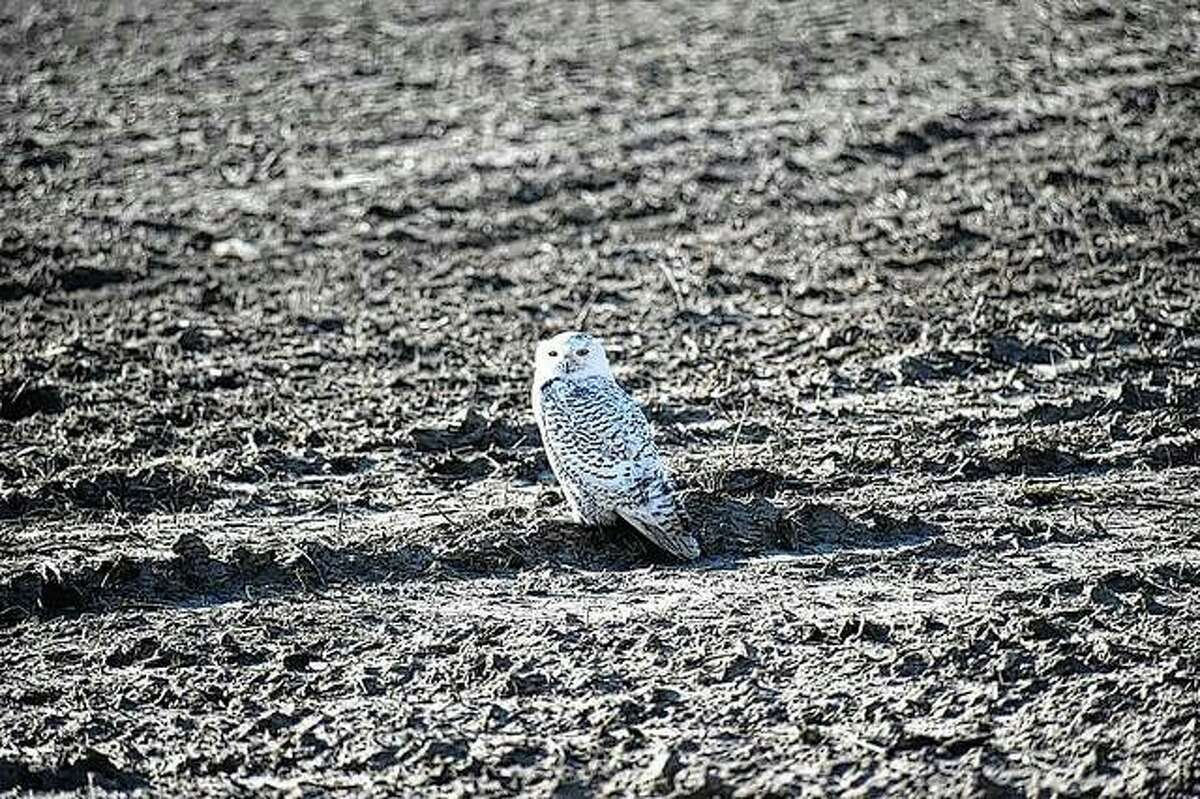A snowy owl was spotted during the 2018 Christmas bird count.