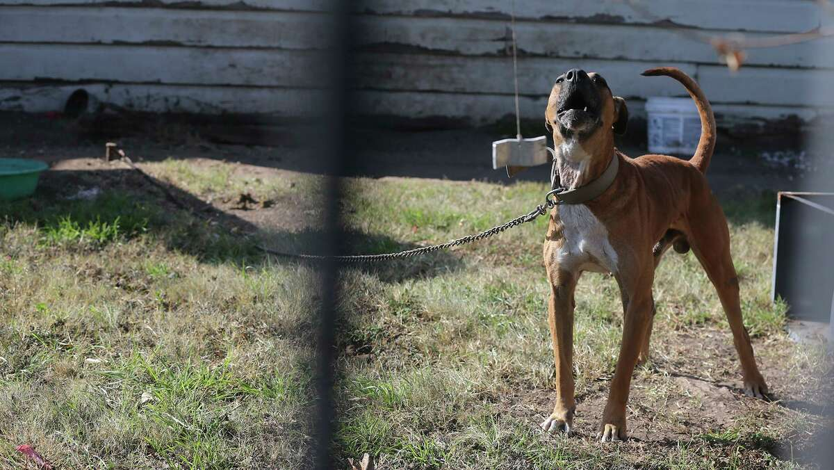 A dog is chained in San Antonio in 2017. Gov. Greg Abbott shocked Texans this year with a bill that would have made chaining up dogs outside and leaving them without water, shade or shelter illegal. But a re-do is rightly on the special session agenda.