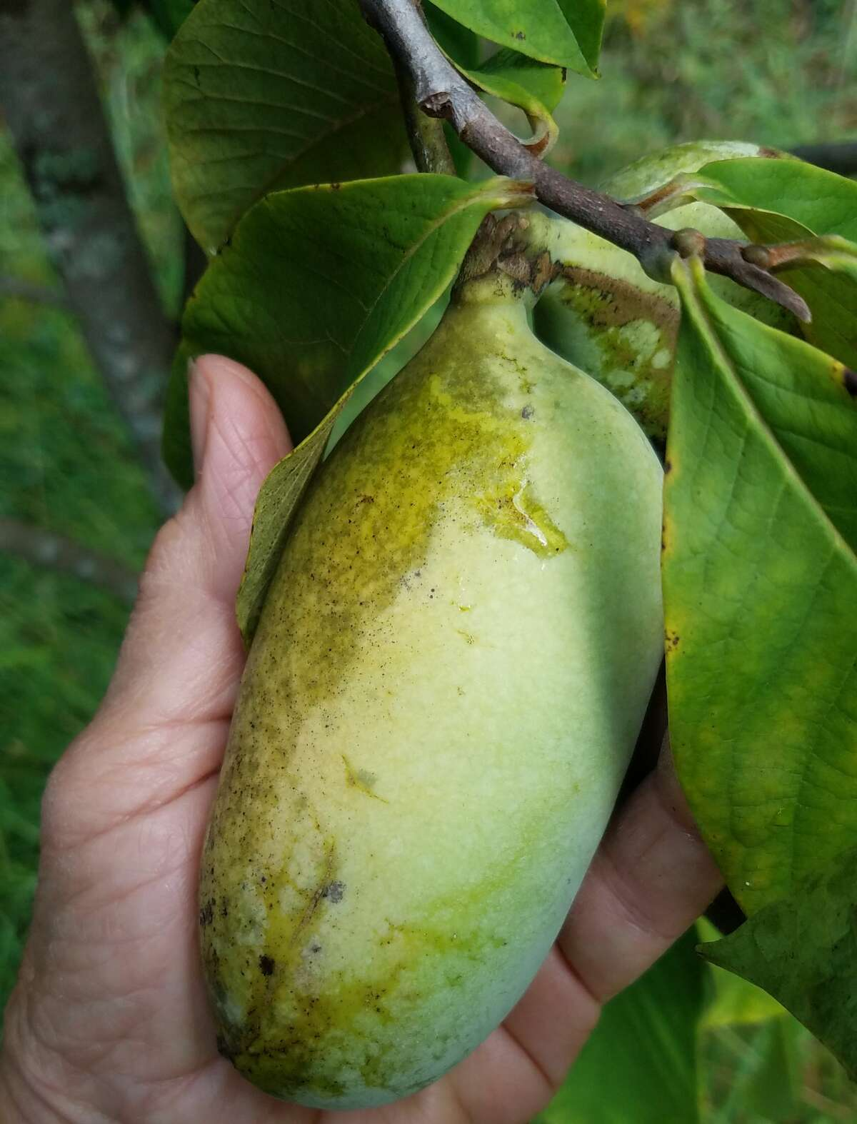 Pawpaws growing on trees at Haven Hill Farm in Greenwich, Washington County. They will be available for a few weeks in October at the farm's booth at the Troy Waterfront Farmers Market.