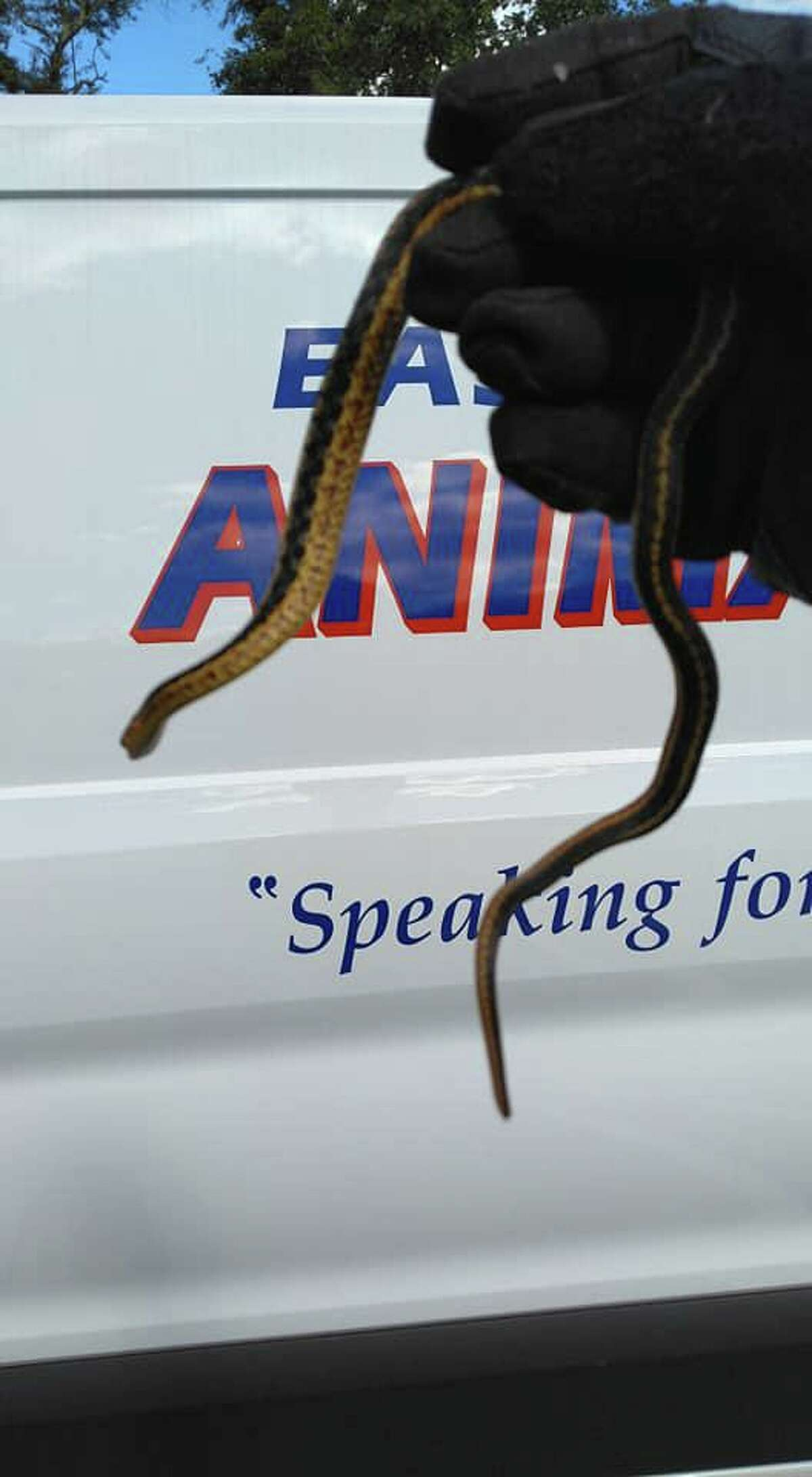 This garter snake was found slithering on a woman's dashboard Thursday morning, according to the Waterford-East Lyme Animal Control.