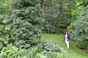 Nancy Bemis checks out the Shagbark Hickory tree which is covered in Climbing Hydrangea in the yard of the Huckleberry Hill Road house on the Secret Garden tour in New Canaan, Connecticut on June 8, 2012.