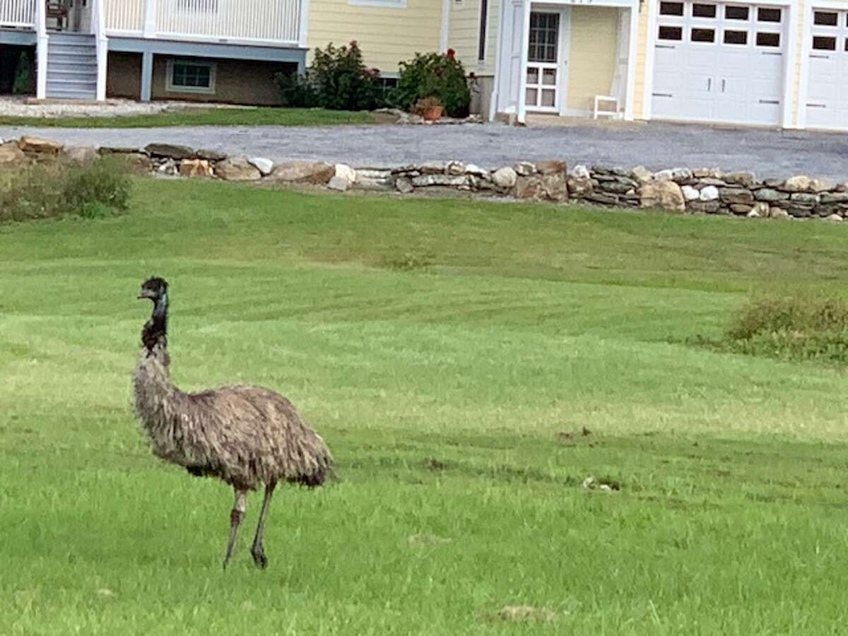 Dutchess County resident Lynne Calhoun spotted the escaped emu on McGhee Hill Road, in Millerton.