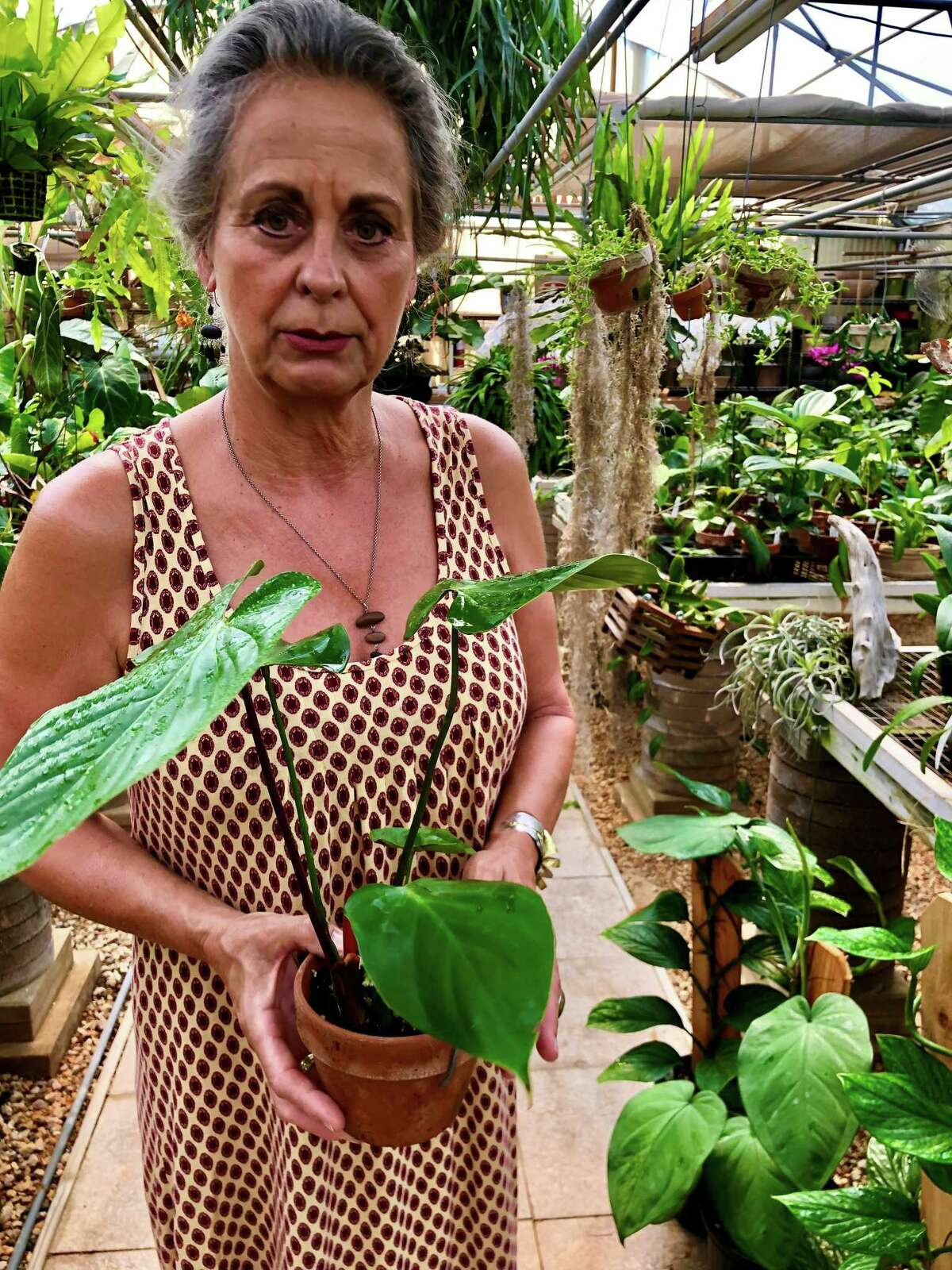 Liz O'Toole, owner of E.D. Huntington Orchids and Tropicals in Northern Hills, holds a small Philodendron lynamii. When this plant sends out new leaves they, are initially a deep pink that slowly fades to green overtime.