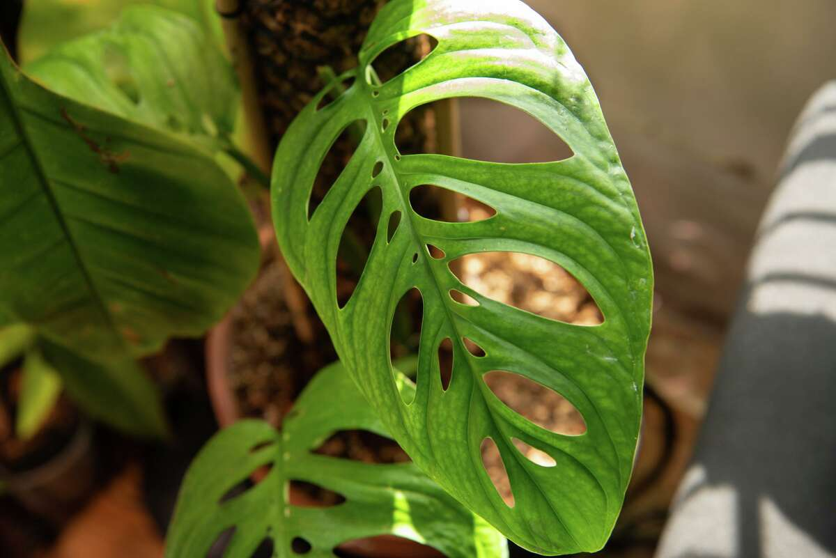 This is a rare Monstera obliqua Peru, commonly known as the Swiss cheese plant, is part of Juan Zavala's collection.