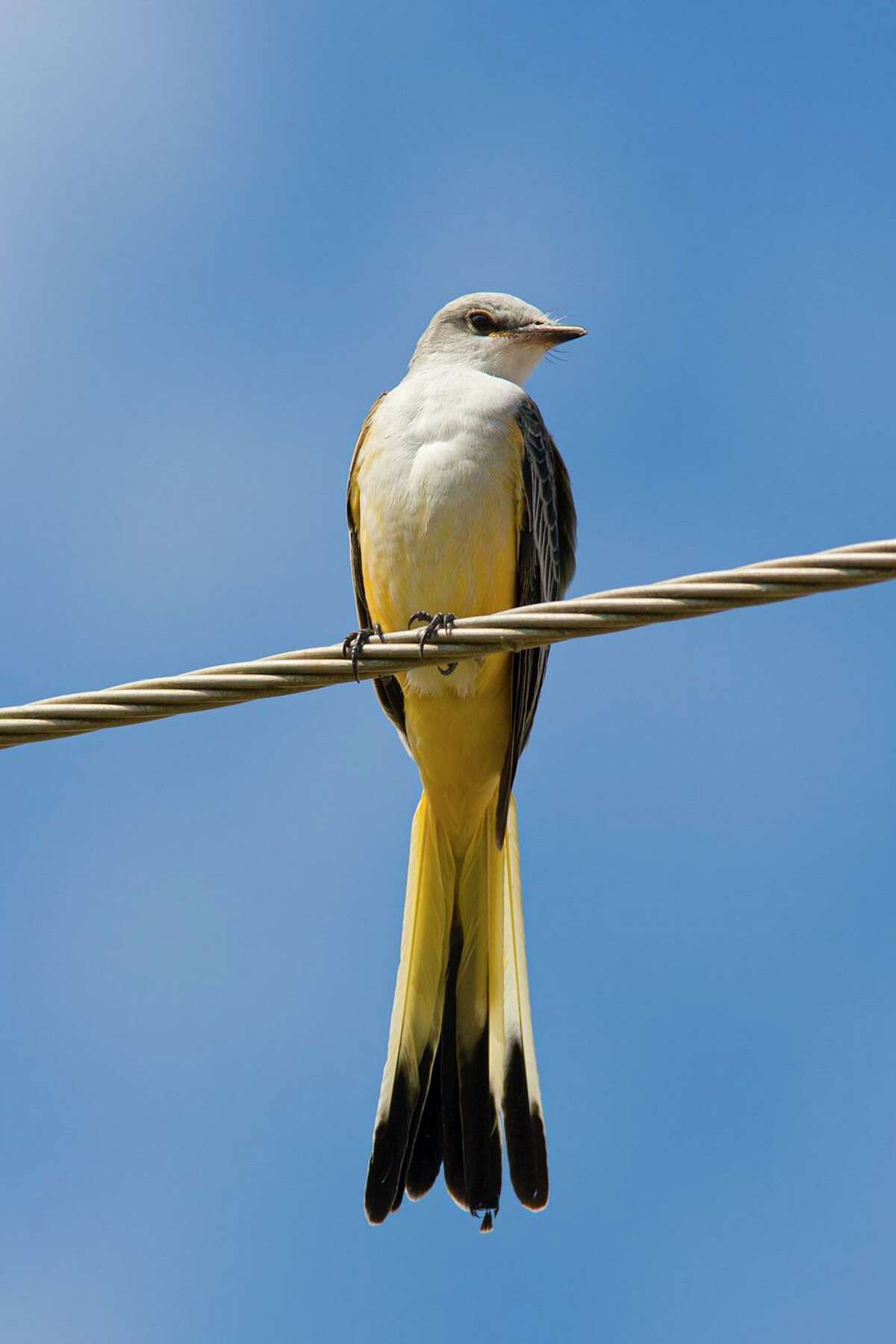 Scissor-tailed flycatchers are gathering on utility wires and in trees as they get ready for their annual migration to Mexico and Central America.