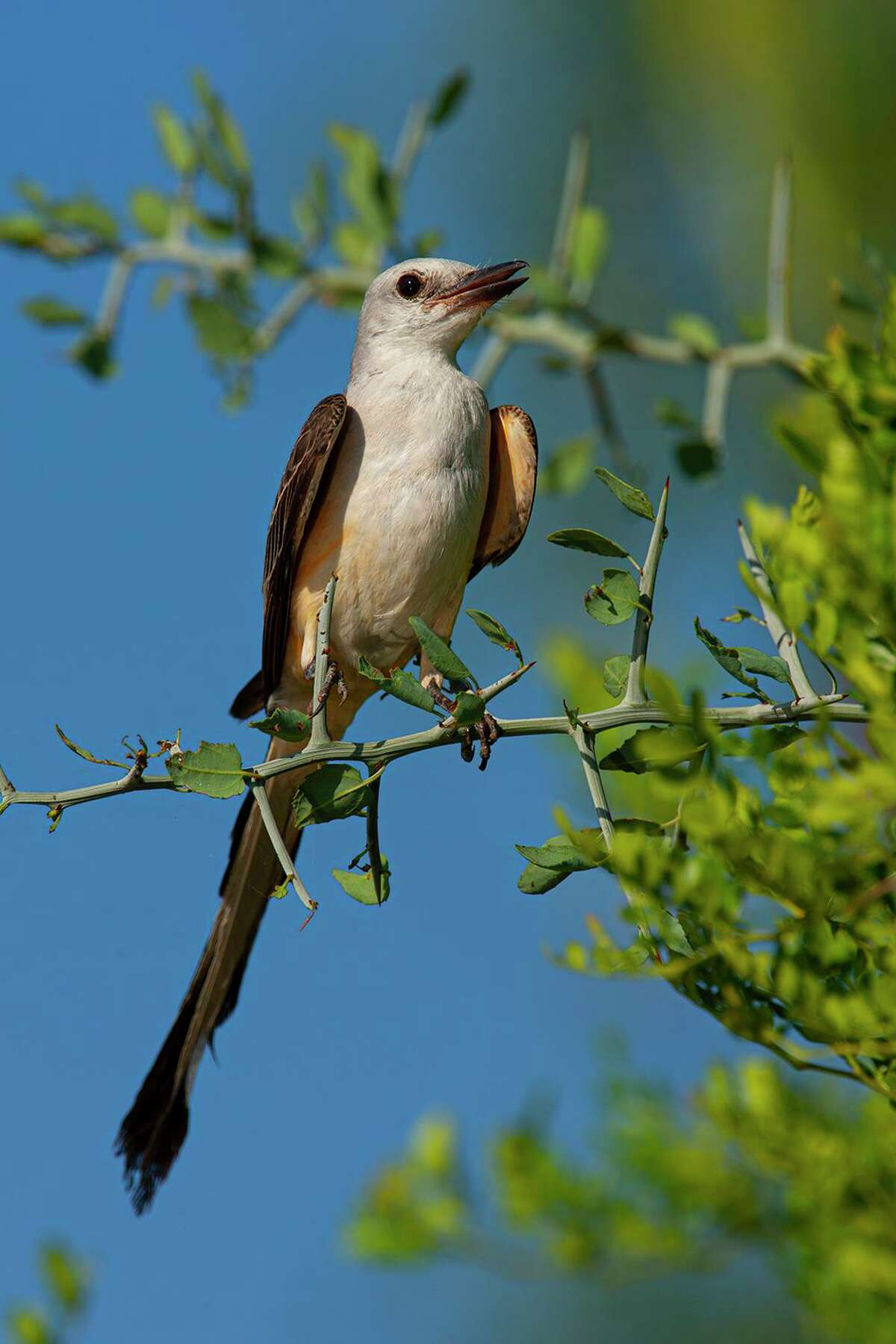 Adult scissor-tailed flycatchers have bifurcated-tails and are the state bird of Oklahoma.