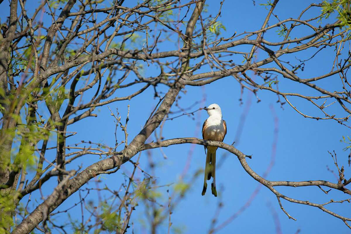 Scissor-tailed flycatcher, with their long scissor tail, breed throughout most of Texas except for the Big Bend region and westward to El Paso.
