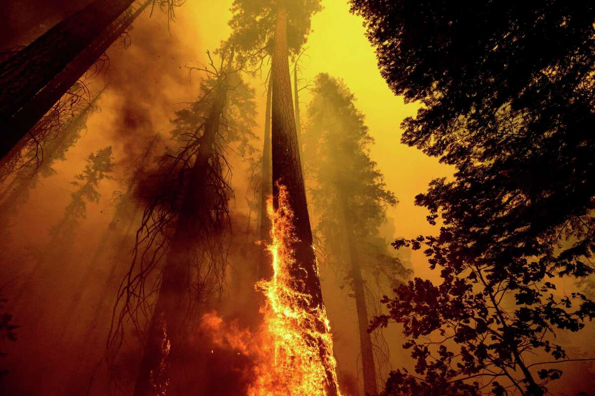 A tree in the Trail of 100 Giants grove in Sequoia National Forest burns in the Windy Fire on Sept. 19.