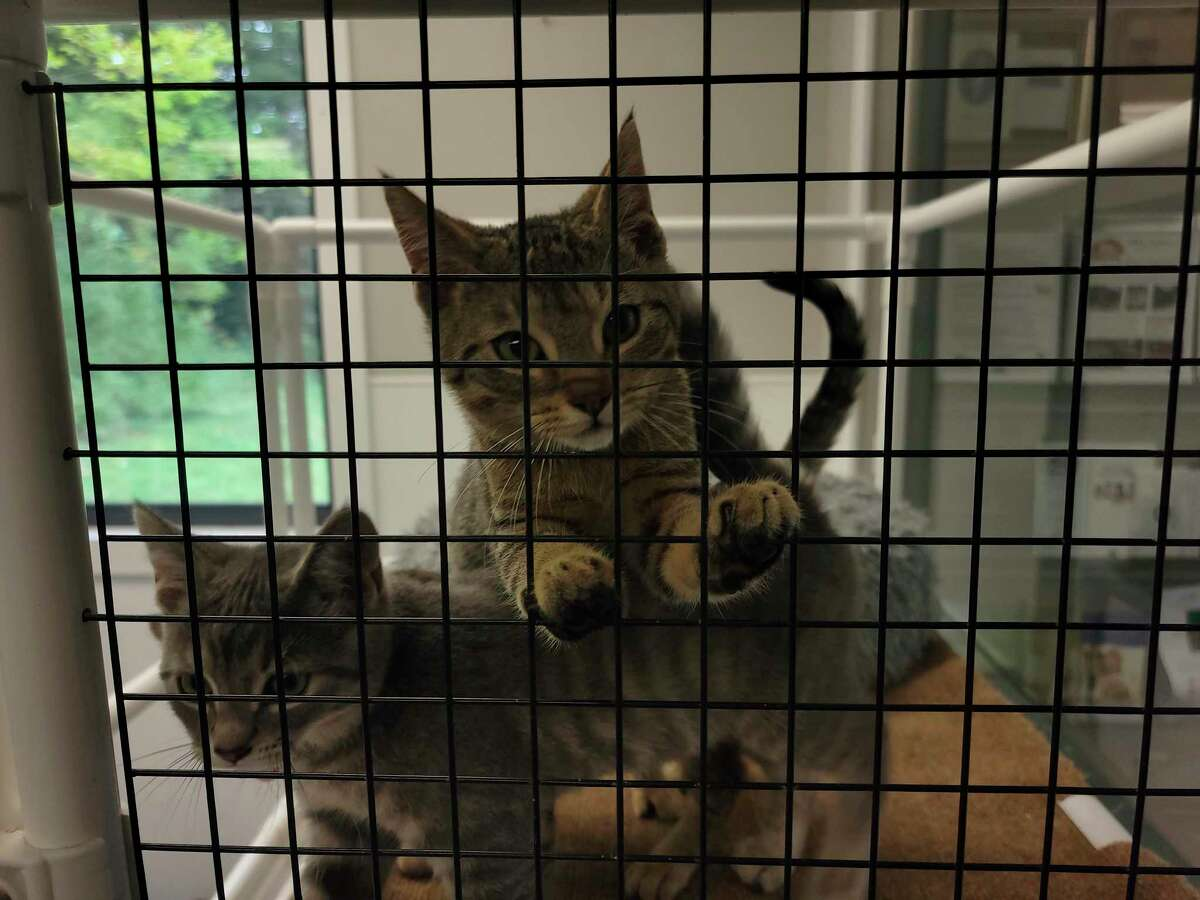 """Kittens wait to be adopted in the """"cat room"""" at the Benzie County Animal Shelter. (Colin Merry/Record Patriot)"""
