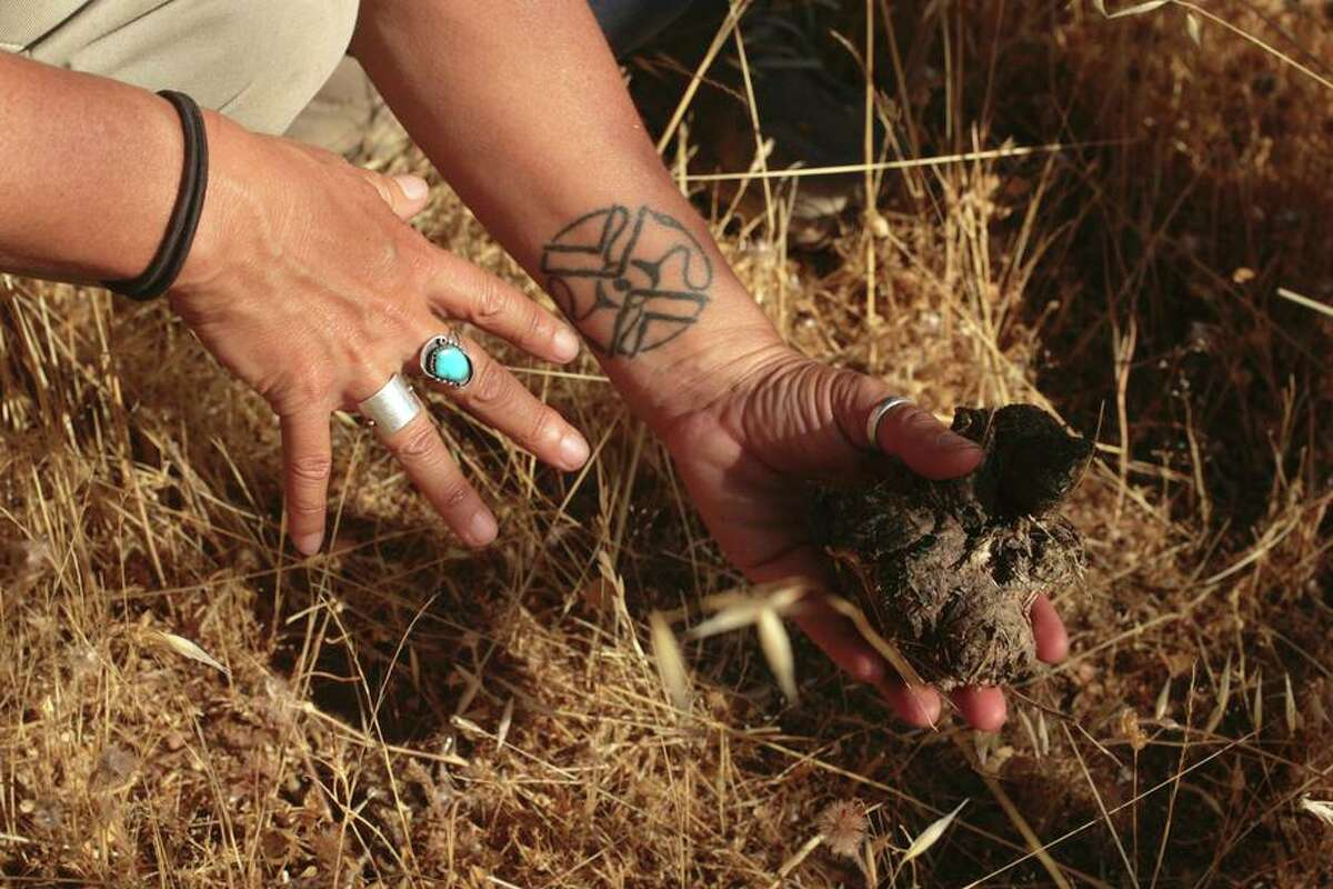 Walla-Murphy inspects dried scat found above Foss Valley. The specimens are processed and logged into a database.