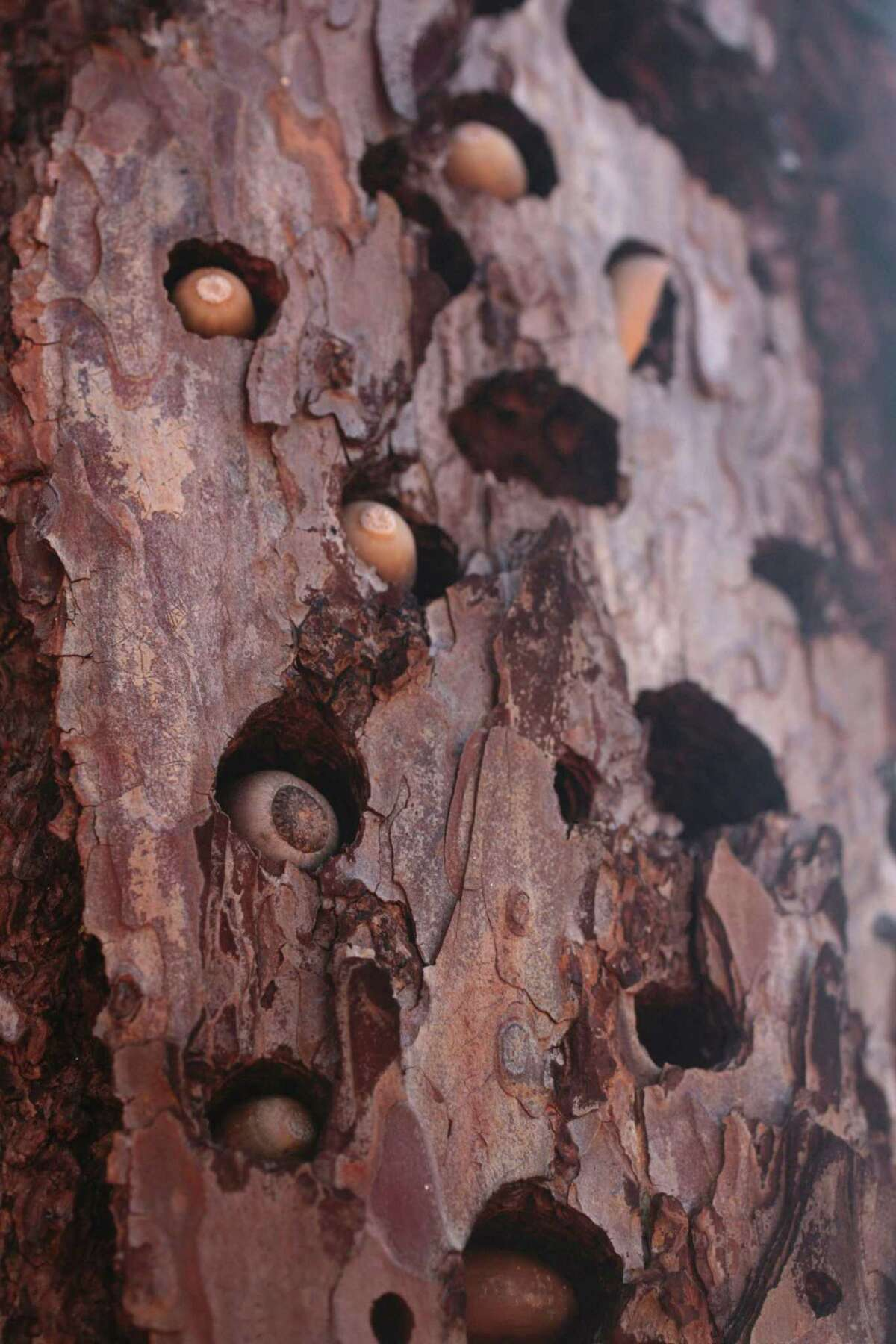 Acorns in a tree trunk in an area of Foss Valley that burned in last year's Glass Fire.