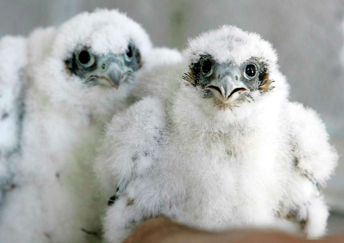 A pair of young peregrine falcons stare at University of California Santa Cruz biologist Glenn Stewart before being banded in their nest on the 33rd floor of the PG&E building in San Francisco, in this May 12, 2009 file photo.