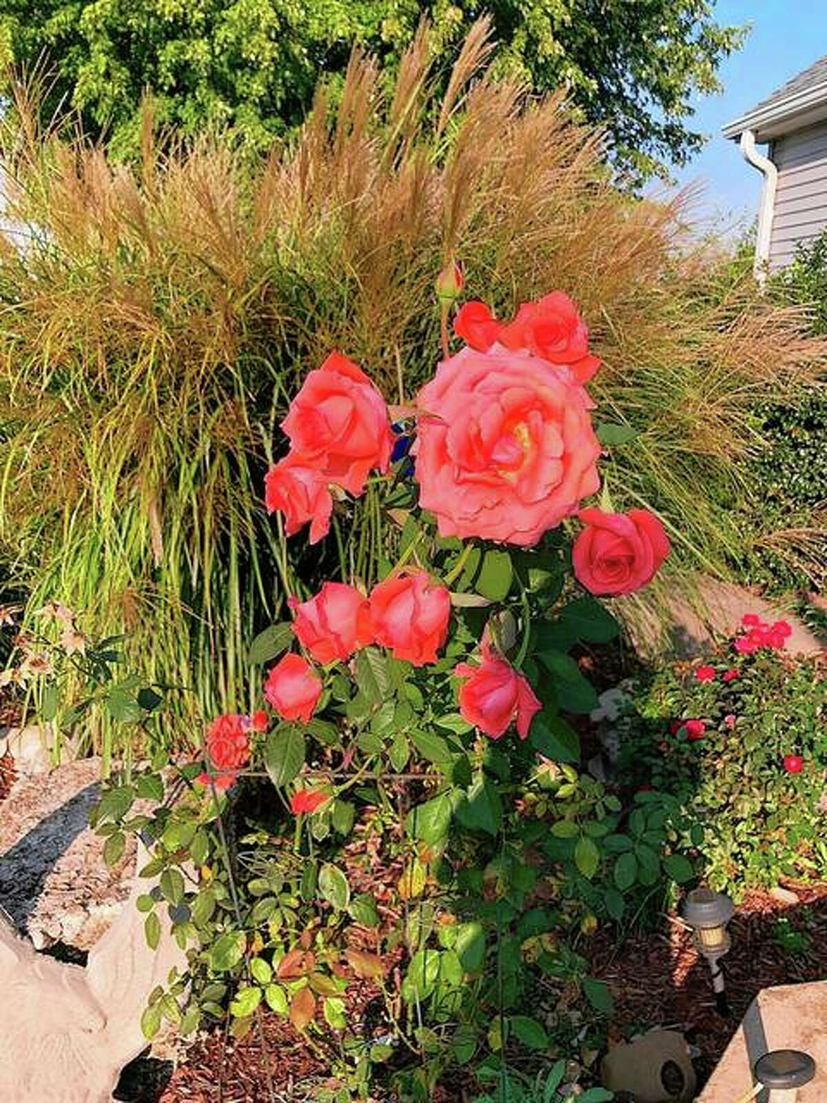 Big beautiful blooms greet the arrival of autumn in the yard of Georgia Wilson in Lynnville.