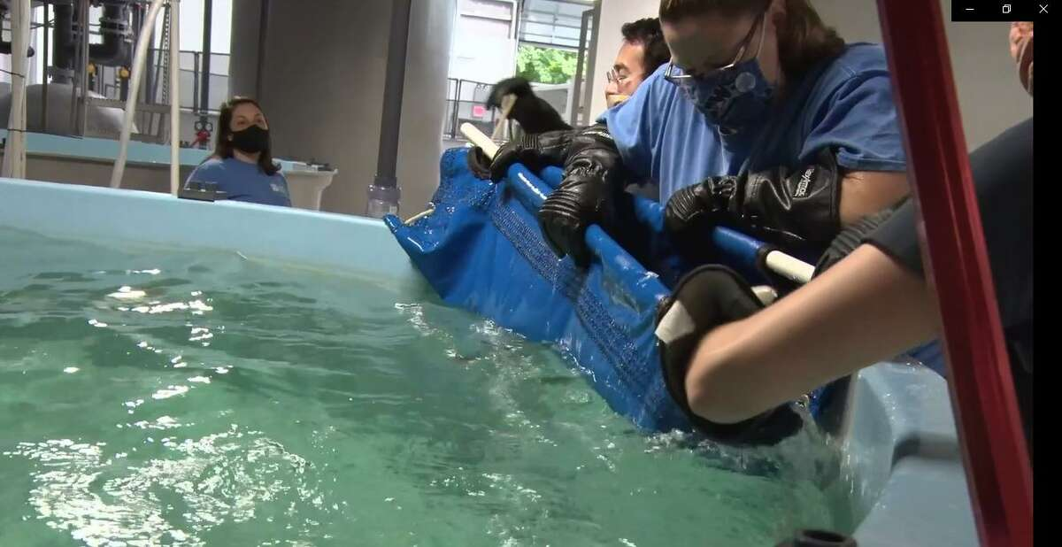 The juvenile sand tiger sharks were recently added to the Shark Lagoon at the Mystic Aquarium, joining the facility's resident nurse sharks until the sand tiger sharks reach adulthood.