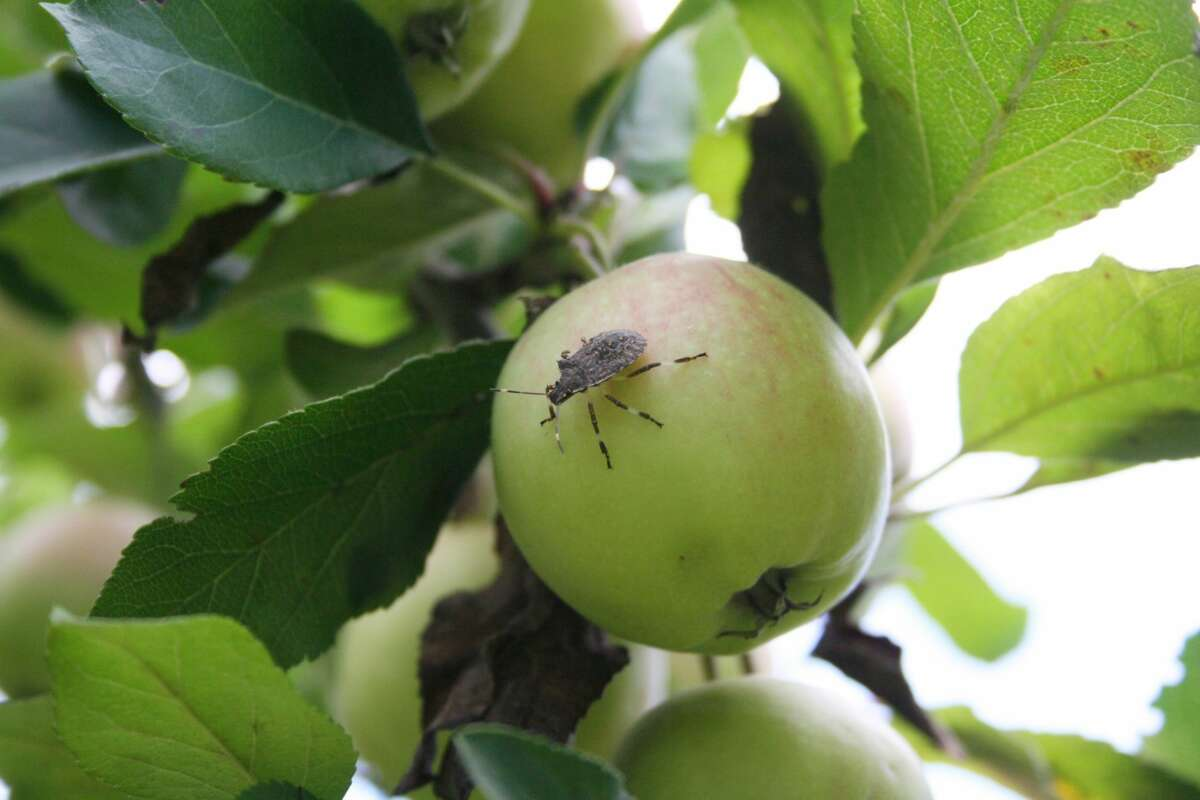 Stink bugs are more than just a nuisance to homeowners when they sneak indoors to escape the cold. They can do major damage to wholesale apple growers' crops and have impacted past yields at local orchards.