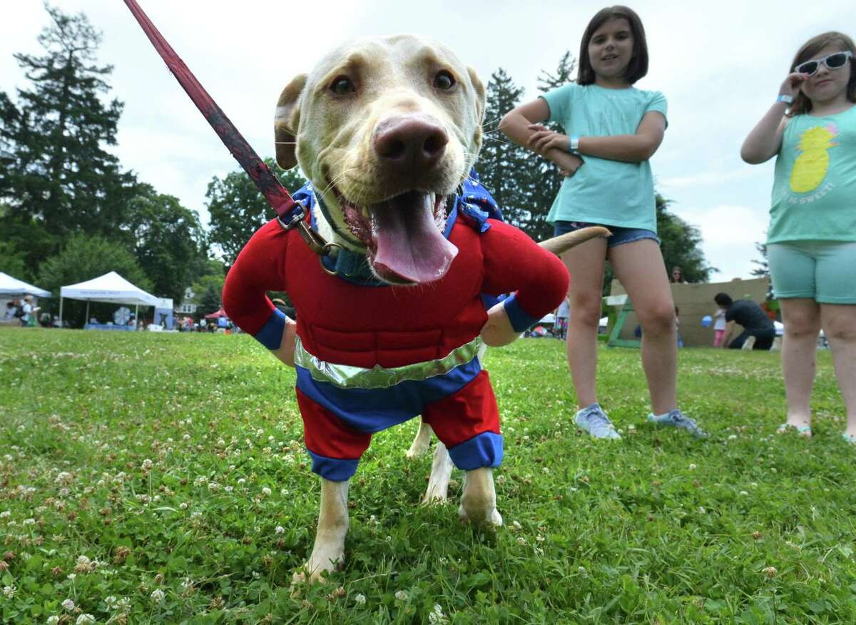 Buddy Biscuit flexes, dressed as a superhero of the Ayers family from Fairfield at the third annual Westport Dog Festival at Winslow Park on Sunday June 24, 2018 in Westport Conn