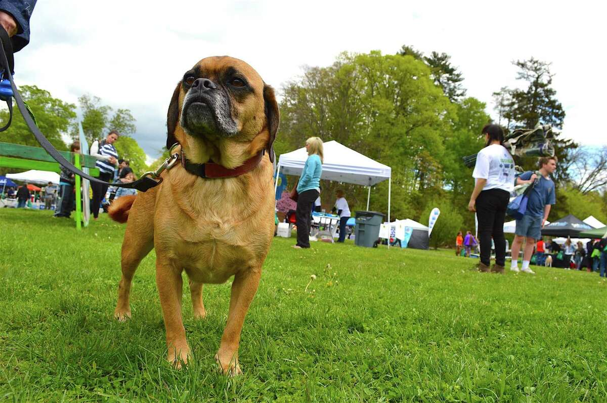 Hank, a puggle from Danbury, takes it all in at the Westport Dog Festival in Winslow Park, Sunday, May 7, 2017, in Westport, Conn.